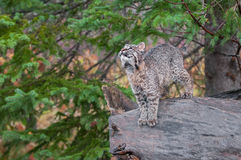 Bobcat Kitten (Lynx rufus) Stands on Log Looking Up Stock Images