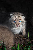 Bobcat Kitten Lynx rufus Stares Out from Within Log. Captive animal Stock Photos