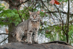 Bobcat Kitten (Lynx rufus) Stares at Viewer from Atop Log Stock Photos