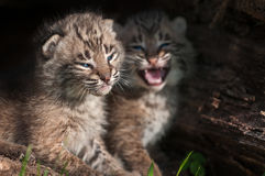 Bobcat Kitten (Lynx rufus) Tries to Ignore Crying Sibling. Captive animals Royalty Free Stock Images