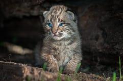 Bobcat Kitten Lynx-rufus zit in Logboek Stock Afbeelding
