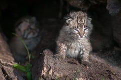 Bobcat Kitten Lynx-rufusedelen uit in Zon Royalty-vrije Stock Foto's