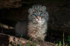 Bobcat Kitten Lynx-rufusrust binnen Logboek Stock Foto's