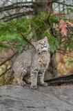 Bobcat Kitten (Lynxrufus) kijkt omhoog van boven op Logboek Royalty-vrije Stock Fotografie