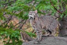 Bobcat Kitten (Lynxrufus) kijkt omhoog van Logboek Royalty-vrije Stock Foto