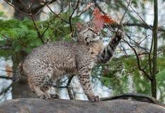 Bobcat Kitten Plays con las hojas encima del registro Foto de archivo