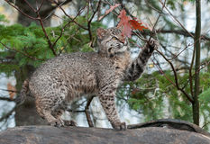 Bobcat Kitten Plays with Leaves Atop Log. Bobcat Kitten (Lynx rufus) Plays with Leaves Atop Log - captive animal Stock Photo