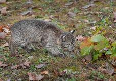 Bobcat Kitten (rufus del lince) comprueba prudentemente las hojas Imágenes de archivo libres de regalías