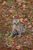 Bobcat Kitten (rufus del lince) mira manera para arriba Fotografía de archivo