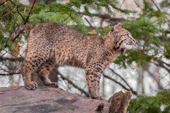 Bobcat Kitten (rufus del lince) se coloca encima del registro que parece derecho Imagen de archivo libre de regalías
