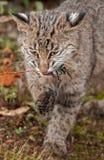 Bobcat Kitten (rufus di Lynx) morde sull'erbaccia erbosa Immagini Stock