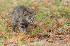 Bobcat Kitten (rufus do lince) desengaça atentamente através da grama Foto de Stock Royalty Free