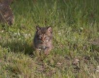 Bobcat Kitten Running i äng Arkivbilder