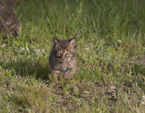 Bobcat Kitten Running in Meadow. Cute little bobcat kitten runs through grassy meadow Stock Images
