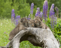 Bobcat Kitten Secrets Stock Images