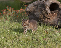 Bobcat Kitten Walking Trhough Meadow Lizenzfreies Stockfoto
