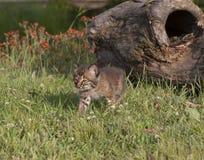 Bobcat Kitten Walking Trhough Meadow Royalty-vrije Stock Foto