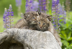 Bobcat Kitten Whispers. Bobcat kitten appearing to whisper in a siblings ear.  Background of purple lupine Royalty Free Stock Images