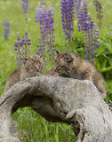 Bobcat Kittens Close up. Bobcat kittens pose on a log in a classic calendar shot Stock Images