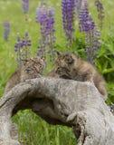 Bobcat Kittens Close upp Arkivbilder