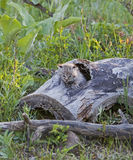 Bobcat kittens in log. The young bob cat kit meows and cries for its mother, and waits to be fed Royalty Free Stock Photo