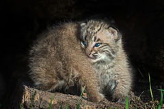 Bobcat Kittens Lynx rufus Back and Front Stock Photography