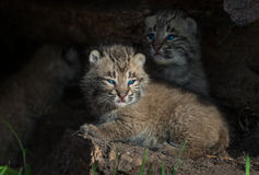 Bobcat Kittens Lynx rufus. Captive animals Royalty Free Stock Image