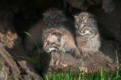 Bobcat Kittens Lynx-rufus kijkt Linker van binnen Logboek Royalty-vrije Stock Afbeeldingen