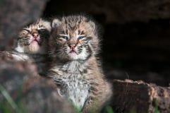 Bobcat Kittens Lynx-rufus kijkt uit over Logboekrand Royalty-vrije Stock Afbeeldingen