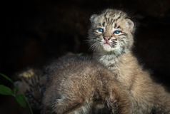 Bobcat Kittens Lynx rufus in Log Stock Photo