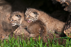Bobcat Kittens (Lynx rufus) Look Left Stock Photo
