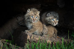 Bobcat Kittens Lynx rufus Look Out of Log Royalty Free Stock Photo