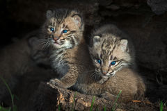 Bobcat Kittens Lynx rufus Peers Out from Log. Captive animals Stock Photos