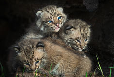 Bobcat Kittens Lynx rufus Pile Up Royalty Free Stock Image