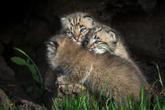 Bobcat Kittens Lynx rufus Piled Up in Log Royalty Free Stock Photos