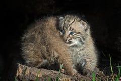 Bobcat Kittens Lynx-rufus Rückseite und Front Stockfotografie