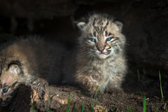 Bobcat Kittens Lynx rufus Stares Out from Within Log Royalty Free Stock Image