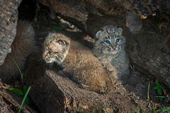 Bobcat Kittens Lynx rufus Turn in Log. Captive animals Stock Photos