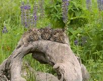 Bobcat Kittens Posing på en journal Arkivbilder