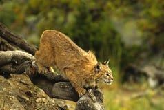 Bobcat Klaar op te springen Royalty-vrije Stock Afbeelding