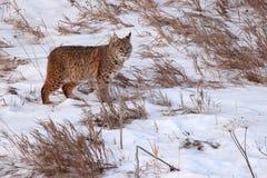 Bobcat On kringstrykandet Arkivfoton