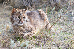 Bobcat laying in sage grass. In prairie Royalty Free Stock Images