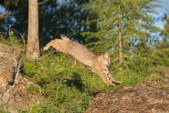 Bobcat leaping on rock Royalty Free Stock Photo