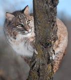 Bobcat (lodjurrufus) bak filial Arkivfoto
