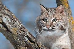 Bobcat (lodjurrufus) i träd med lämnat kopieringsutrymme Arkivbild