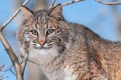Bobcat (lodjurrufus) i Tree Arkivbild