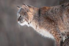 Bobcat (lodjurrufus) med snö på hans framsida Arkivbilder