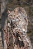 Bobcaten (lodjurrufus) Perches på stubbe Royaltyfri Foto