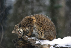 Bobcat on Log Royalty Free Stock Photo