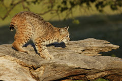 Bobcat on Log. Young bobcat stalking on large log Royalty Free Stock Photos